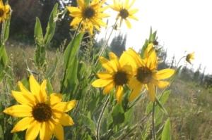 Beautiful Wildflowers of Brian Head